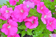 Pink petunia flowers, close up view, selective focus Royalty Free Stock Images