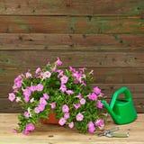 Pink petunia flowers in flowerpot with garden accessories. Stock Photos