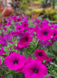 Pink Petunia Flowers. In The Garden Stock Image