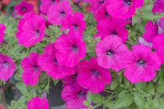 Pink Petunia Flowers. In The Garden Royalty Free Stock Image