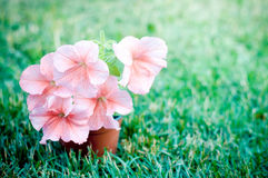 Pink petunia flowers in the garden Stock Image