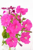 Pink petunia flowers in glass vase Royalty Free Stock Image