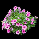 Pink petunia flowers isolated on black background Royalty Free Stock Photos