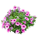 Pink petunia flowers isolated on white background Stock Images
