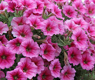 Pink petunia flowers Stock Image