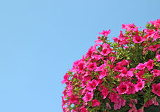 Pink petunia flowers Stock Photos