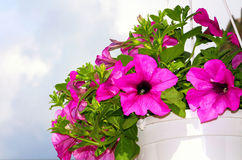 Pink petunia flowers over blue sky Royalty Free Stock Image