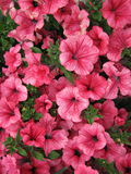 Pink petunia flowers pattern Stock Photos