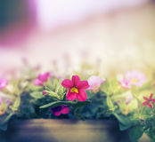 Pink petunia flowers pot on blurred nature background Royalty Free Stock Images