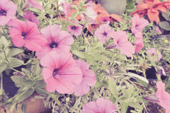Pink Petunia flowers in pots,Colorful garden Petunia plants Stock Image