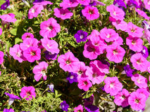 Pink Petunia Flowers Royalty Free Stock Photos