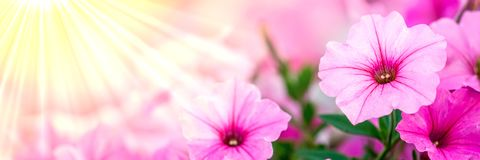 Pink Petunia Flowers stock photography