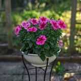 Pink petunia flowers in vase in garden royalty free stock photos