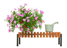 Pink petunia flowers on wooden bench isolated on white backgroun Royalty Free Stock Photo