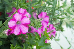 pink petunia in a garden Royalty Free Stock Photo