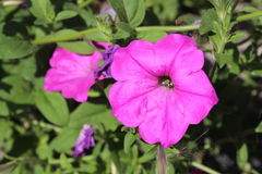 Pink Petunia in the Garden Royalty Free Stock Photography