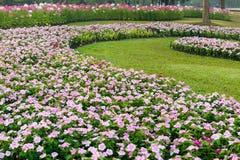 Pink petunia garden Stock Image