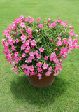 Pink petunia in the garden. With green lawn background Royalty Free Stock Photos