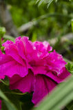 Pink Petunia in the garden Stock Images