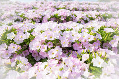 Pink petunia in garden Stock Photos