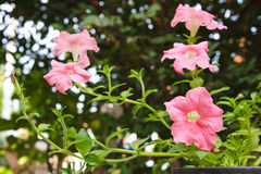 Pink petunia in the garden. Stock Image