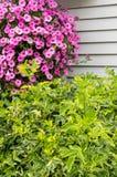Pink petunia hanging basket in landscape Royalty Free Stock Photo