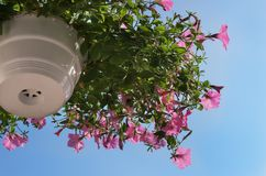 Pink petunia hanging in the white basket against the blue sky. Bottom view Stock Images