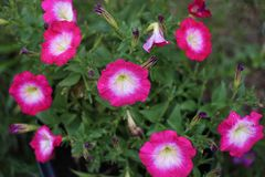 Pink petunia shows lots of beauty. After rain with its colors stock photo