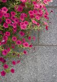 Pink Petunias. Hot pink petunias cascade over a gray granite wall Royalty Free Stock Images