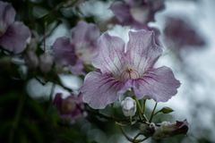 Branch with white and pink petunias royalty free stock images