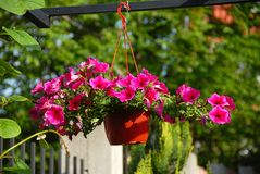 Pink petunias Royalty Free Stock Photos