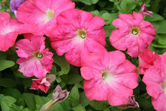 Pink Petunias Stock Photography