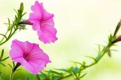 Pink petunias in the garden Stock Photo