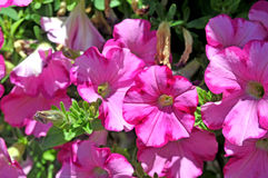 Pink petunias Stock Photos