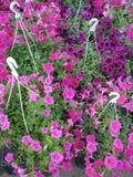 Pink petunias at marketplace Stock Photos