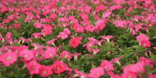 Pink Petunias Stock Images