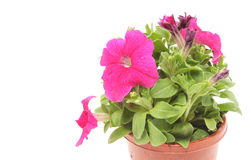 Pink petunias Royalty Free Stock Photography