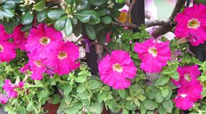 Pink petunias Stock Photo
