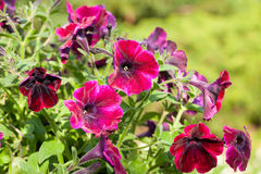 Pink petunias in springtime Stock Photos