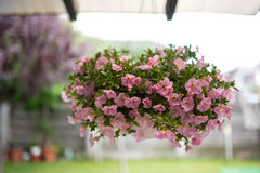 Pink petunias in a suspended basket Royalty Free Stock Photo