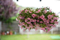 Pink petunias in a suspended basket Royalty Free Stock Photography