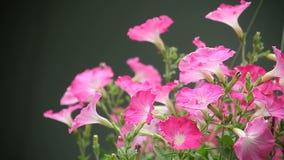 Pink petunias Stock Photography