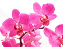 Pink phalaenopsis Royalty Free Stock Photo