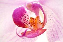 Pink phalaenopsis Stock Image