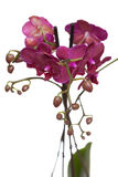 Pink phalaenopsis. Pink orchid isolated on white Royalty Free Stock Images