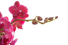 Pink phalaenopsis. Pink orchid isolated on white Stock Images