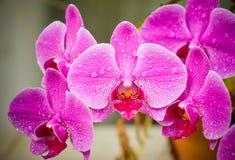 Pink Phalaenopsis flower Royalty Free Stock Photos