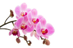 Pink phalaenopsis orchid Stock Images