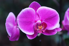 Pink Phalaenopsis Orchid. In the garden Royalty Free Stock Photo