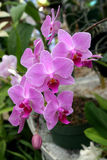 Pink phalaenopsis orchid Stock Image